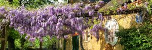The wisteria in full bloom outside the Old Mortuary